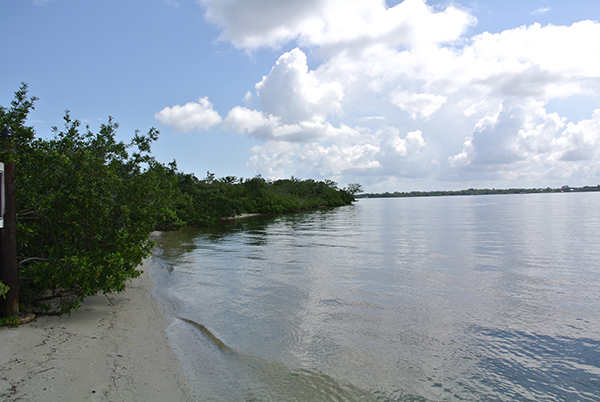 Mangroves on the shore